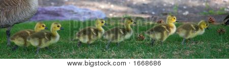 Six Baby Geese