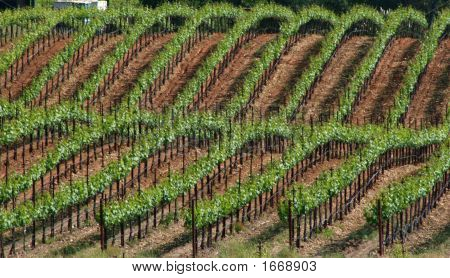 Diagonal Vineyard Rows