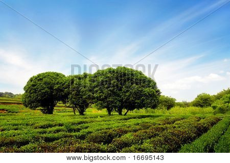 trees and tea trees in the field