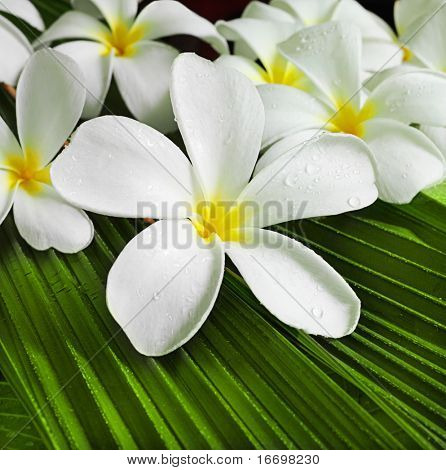 white plumeria flowers on green leaves