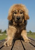 stock photo of newfoundland puppy  - portrait of a beautiful puppy purebred tibetan dog - JPG