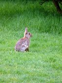 picture of thumper  - portrait of wild rabbit in green grass