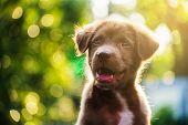 Labrador Dog Head Shot With Bokeh poster