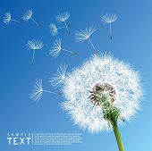 picture of dandelion  - Vector Dandelion - JPG