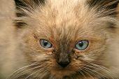 Angry Kitten