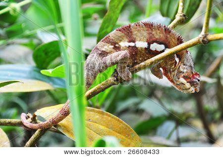 Panther chameleon