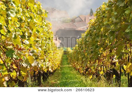 Vineyard in Lavaux region, Switzerland