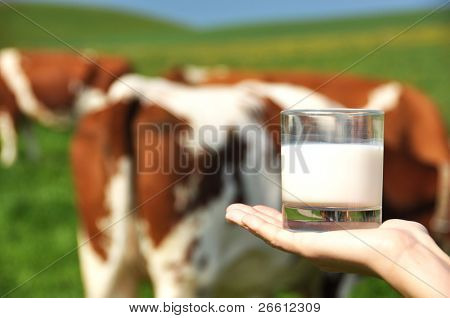 Glass of milk on the hand against herd of cows