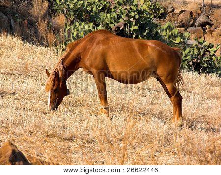 Horse that graze the stubble