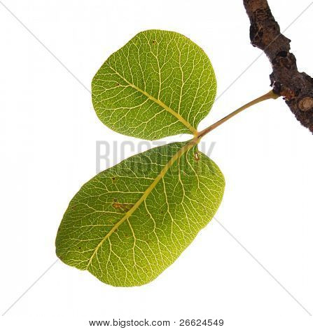 green leaves of pistachio on white background