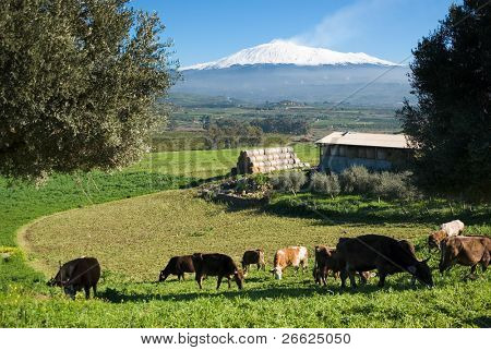 rural landscape with livestock and snowy volcano etna