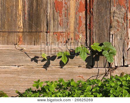 Hojas de escalador en la vieja puerta de madera abandonada