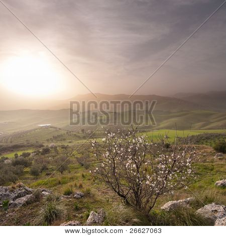 almond tree blooming in landscape of sicilian hinterland in a misty sunset
