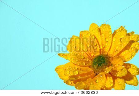 Margarita amarillo Brite