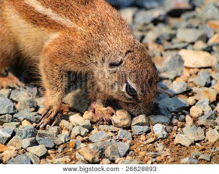 Ground squirrel(Xerus inaurus)