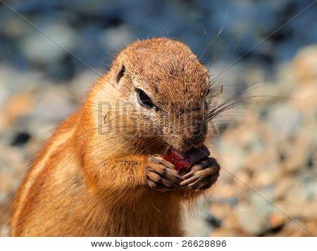 Ground squirrel(Xerus inaurus) eating