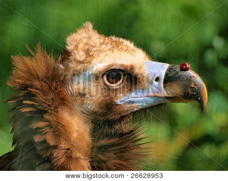 Head detail of a brown vulture