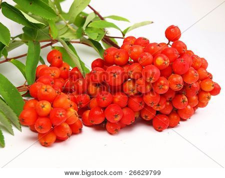 rowan berries branch isolated on a white background
