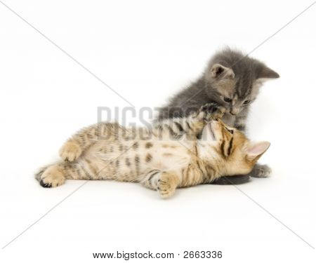 Tabby And Gray Kitten