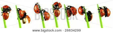 Collection of ladybugs, studio photos on white background