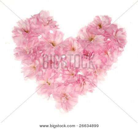 Cherry tree blossoms heart on white background