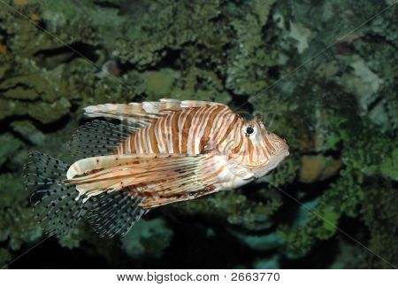Dangerous Lionfish In Tropical Sea