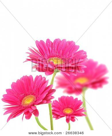 Purple gerberas flowers isolated on white background