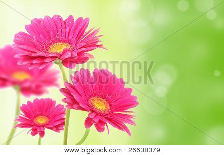 Gerbera flowers on green shiny background