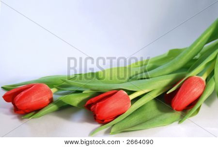 Line Of Tulips