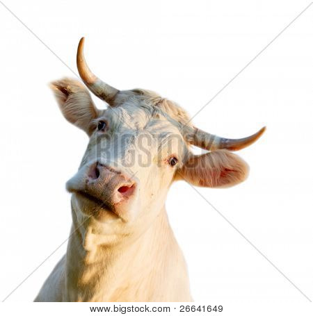 Cow portrait, isolated on white background