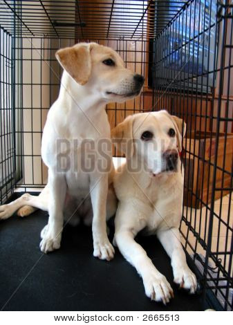 Two Yellow Labrador Retrievers