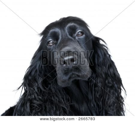 Black English Cocker Spaniel Dog On White