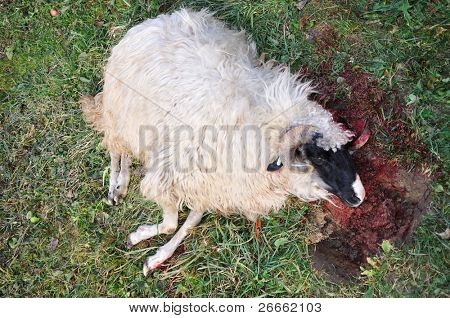 Sheep murdered with his throat cut