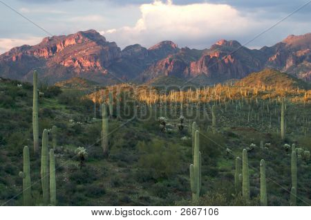 Saguaros With Sunset Lit Superstition Mountains