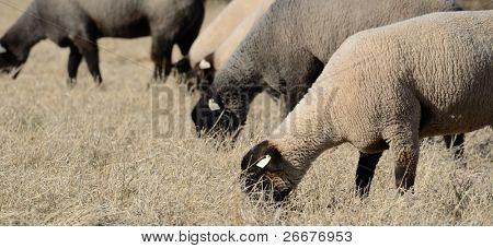 Suffolk sheep grazing in a field.