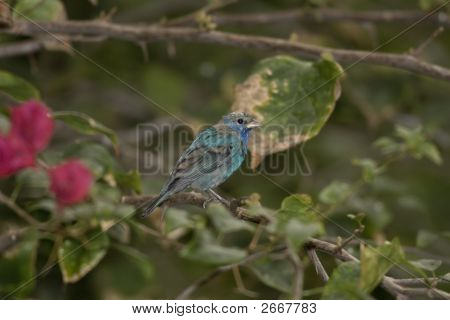 Indigo Bunting Watching The Feeder