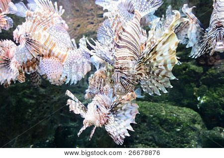 view of red lion fish
