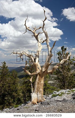 Bristlecone Pine Tree Portrait