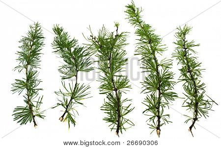 branches larch tree isolated on white background