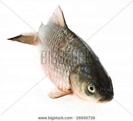 european carp isolated on white