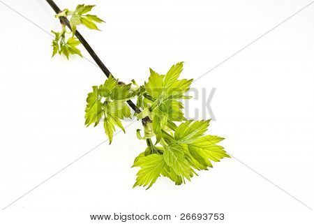 branch maple tree with spring buds isolated on white