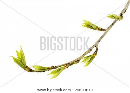Branch poplar tree with spring buds isolated on white