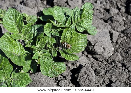 Young potatoes sprout and colorado  beetles
