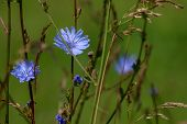 Chicory Flowers On Meadow. Blooming Flowers. Chicory Flowers On A Green Grass. Meadow With Chicory F poster