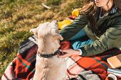 Partial View Of Woman Sitting On Blanket And Adjusting Dog Collar On Golden Retriever In Park poster