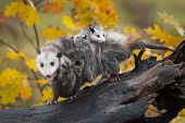 Opossum (didelphimorphia) Walks Left On Log With Load Of Joeys And Open Mouth - Captive Animals poster