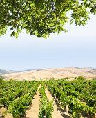 Постер, плакат: ландшафтный для виноградников и белые облака в синем небе