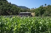 old shack of corrugated metal in a field of corn crop in a mountain area of Greece