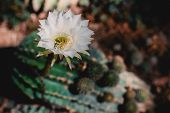 Cactus Blooming In Summer. Blooming White Cactus echinopsis Oxygona poster