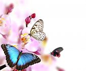 stock photo of blue butterfly  - Butterflies on blossoms of orchid - JPG